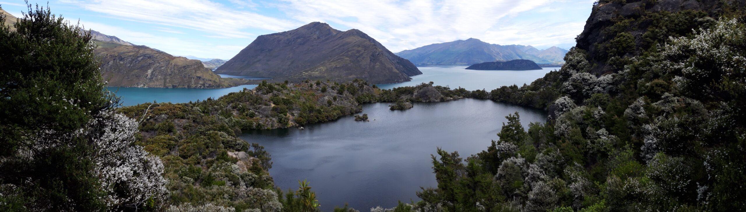 20191221_155502 - Neuseeland - Otago - Wanaka - Wanaka See - Mou Waho Insel - Mou Tapu Insel Manuka (Leptospermum scoparium)