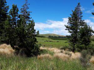 20191223_133015- Neuseeland - Fiordland - Mossburn (NZ) - Te Anau (NZ) - Red Tussock Gras (Chionochloa rubra) - Black Angus Rind