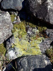 20191228_100537 - Neuseeland - Cangerbury (NZ) - Mount Cook Village (NZ) - moosbewachsenes Gestein - grünes Moos